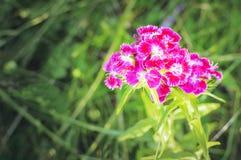 Fleur avec les fleurs de floraison d'oeillet photo stock