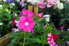 Fleur avec les pétales roses violets Photographie stock libre de droits