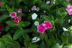 Fleur avec les pétales roses violets Photos libres de droits