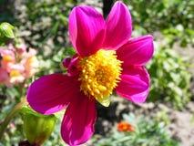 Fleur avec un noyau jaune Photographie stock libre de droits