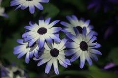 fleur blanc bleu Images stock
