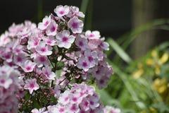 Fleur blanc pourpre ensoleillée photo libre de droits
