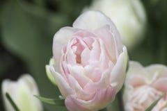 fleur Blanc-rose de fox-trot de tulipe de Terry pendant le matin Photos stock
