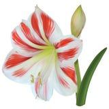 Fleur blanc-rouge d'Amaryllis Photographie stock