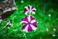 fleur blanc violet dans l'herbe Photo stock