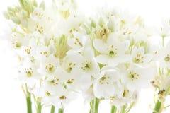 Fleur blanche à l'arrière-plan blanc d'isolement par instruction-macro Images stock