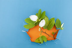 Fleur blanche à l'arrière-plan de papier déchiré Photographie stock