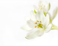 Fleur blanche Images stock