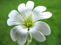 Fleur blanche. Images stock