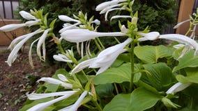 Fleur blanche Image libre de droits