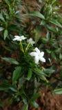 Fleur (blanche) images stock