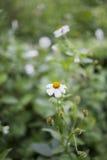 Fleur blanche Photos stock