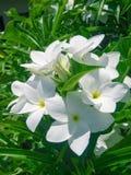 Fleur blanche photos libres de droits