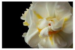 Fleur blanche au foyer mou avec un fond noir et un cadre blanc Photos stock