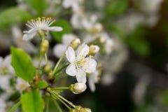 Fleur blanche au printemps Image libre de droits