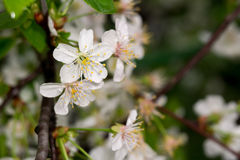 Fleur blanche au printemps Photo stock