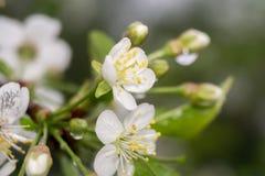 Fleur blanche au printemps Images stock