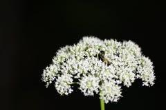 Fleur blanche avec l'araignée Image libre de droits