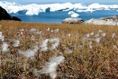 Fleur blanche avec l'iceberg dans l'ilulissat, Groenland, jakobshavn Photos stock
