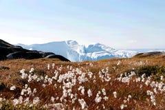 Fleur blanche avec l'iceberg dans l'ilulissat, Groenland, jakobshavn Photographie stock
