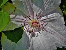 Fleur blanche avec l'insecte Images libres de droits