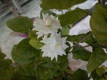 Fleur blanche avec l'odeur gourdgous photos stock