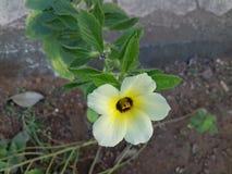 Fleur blanche avec le centre jaune Photos libres de droits