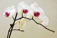 Fleur blanche avec le centre pourpre Photos libres de droits