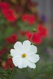 Fleur blanche avec les fleurs rouges à l'arrière-plan Photo stock