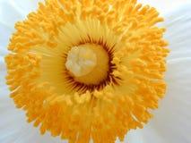 Fleur blanche avec un centre jaune Photographie stock libre de droits