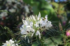 Fleur blanche avec une guêpe Photo stock