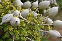 Fleur blanche colorée dans le jardin botanique à Cape Town en Afrique du Sud Images stock