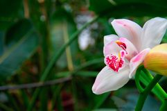 Fleur blanche comme neige Bourgeon de belle fleur tropicale avec des taches d'écarlate sur le fond vert-foncé de feuillage Copiez Images libres de droits