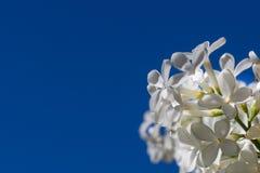 Fleur blanche contre un ciel bleu Photos libres de droits