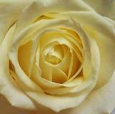 Fleur blanche crème simple de Rose Photo libre de droits