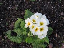 Fleur blanche débonnaire Photo libre de droits