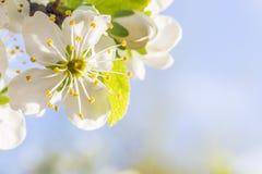 Fleur blanche d'été sur un arbre avec un ciel bleu à l'arrière-plan Photos stock
