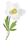 Fleur blanche d'anémone photo libre de droits
