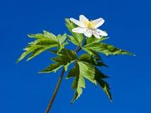 Fleur blanche d'anémone sur le fond de ciel bleu Photographie stock
