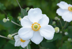 Fleur blanche d'Anemone Hupehensis Photo stock
