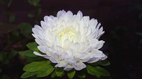 Fleur blanche d'aster Photos stock