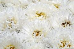 Fleur blanche d'asters en été image libre de droits