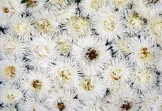 Fleur blanche d'asters en été photos stock