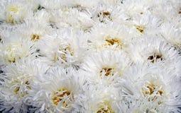 Fleur blanche d'asters en été photos libres de droits