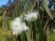 Fleur blanche d'eucalyptus Arbre d'eucalyptus Images stock