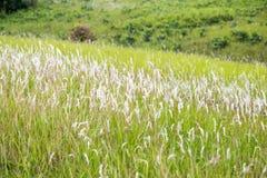 Fleur blanche d'herbe Photos stock