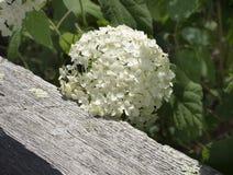 Fleur blanche d'hortensia sur une vieille barrière Rail photos libres de droits