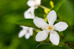 Fleur blanche d'Inda Image stock
