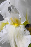 Fleur blanche d'iris dans un jardin Fleur d'iris Images stock