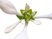 Fleur blanche d'isolement Photos stock